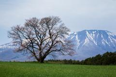 小岩井牧場一本桜