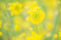 ソレイユの丘の菜の花