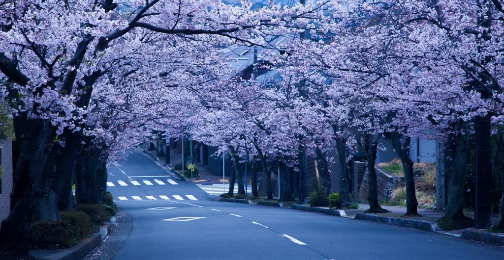 逗子ハイランドの桜2