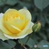 ビタミンカラーの薔薇の親子