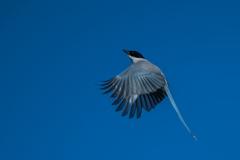 オナガさん飛翔3