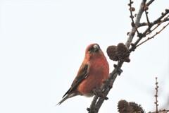 幸せの赤い鳥
