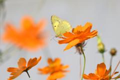 黄花と黄蝶