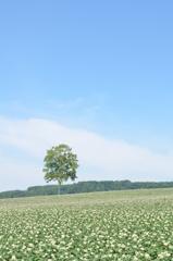 じゃがいも畑と緑の木