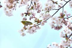 春は桜に乗って