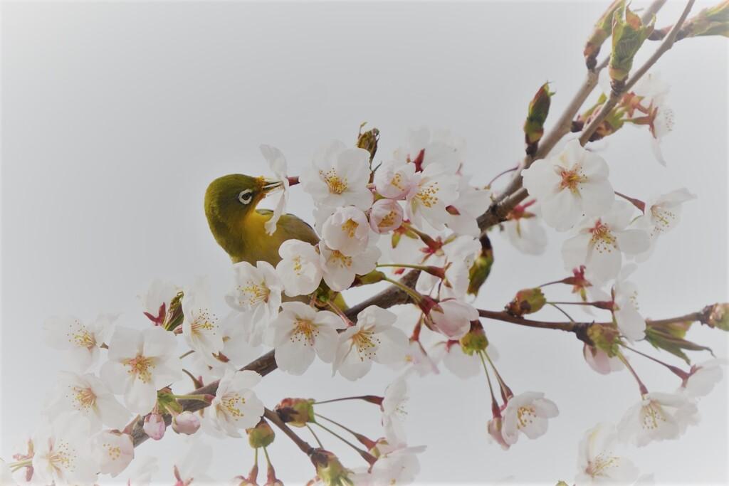 スイーツ桜