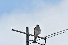鷹見の見物