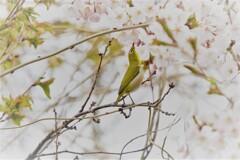 チャレンジ桜