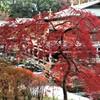 紅く色ずき