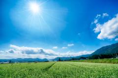 箱館山のそば畑