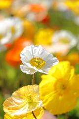 春の花・ポピー