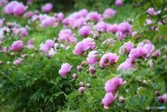 シャクナゲの花♪