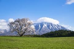 ド定番の一本桜