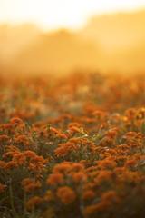 朝陽を浴びる花