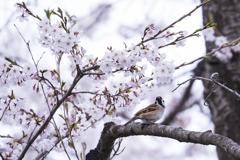 君は桜を見ていた...
