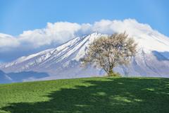 三角山の一本桜