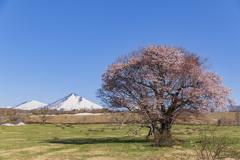 東北の一本桜?