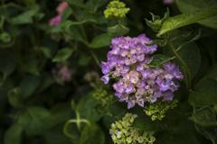 令和・初・紫陽花