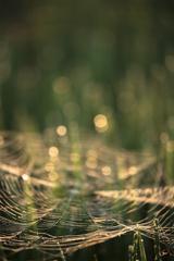 朝陽を浴びる蜘蛛の巣
