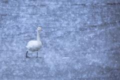 Snow&Swan