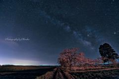 夜の桜(ちょい引きで)
