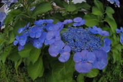 03で紫陽花を (1)