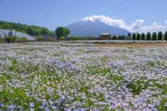 ネモフィラと富士山(2)
