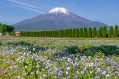 ネモフィラと富士山(1)