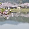 桜と逆さ筑波