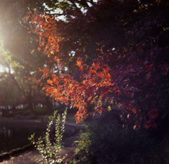 西日と紅葉