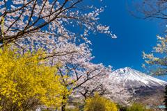 満開の桜と富士-4