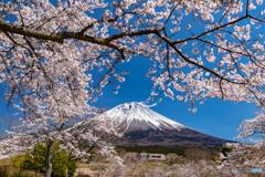 満開の桜と富士-3