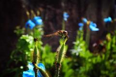 蜻蛉 ~ブルーポピー~