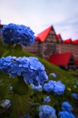青い紫陽花と赤い屋根