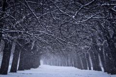 桜並木の冬