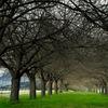 開花を待つ桜並木