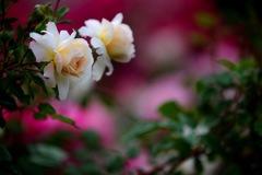 薔薇の想い