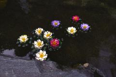 冬越しの睡蓮の花
