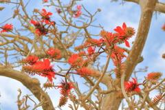 春を告げる花~デイゴ~