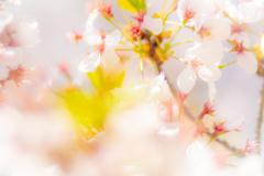 桜間に合いました