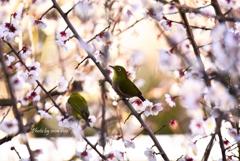 メジロ&梅の花