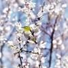 満開の梅の花に