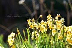 輝く黄水仙