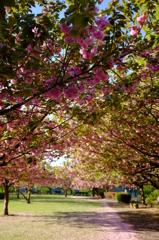 八重桜の咲く公園