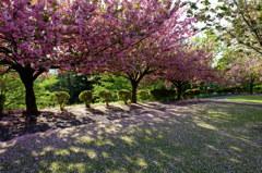 八重桜の咲く公園 その3