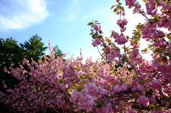 八重桜がいっぱい