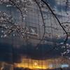 桜と夕陽と・・