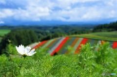 コスモスとお花畑