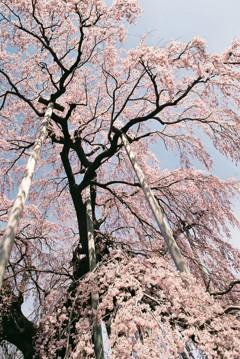滝桜を仰ぐ