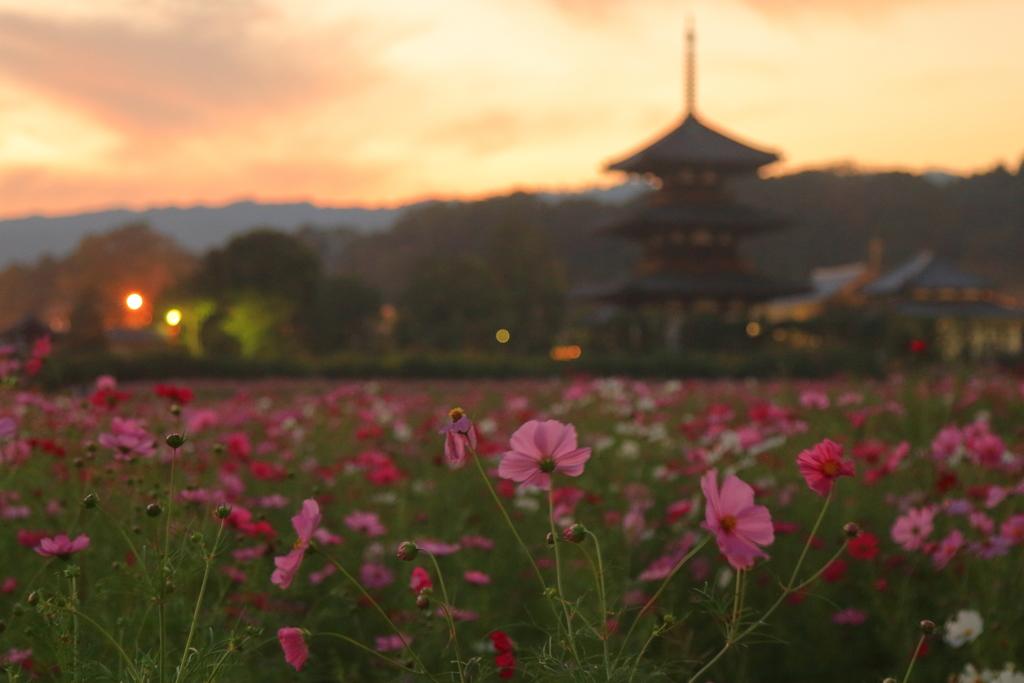 秋桜と夕暮れの三重塔